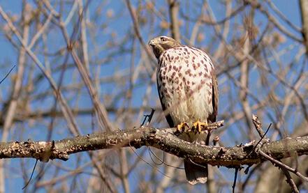A hawk sits in a residential backyard.