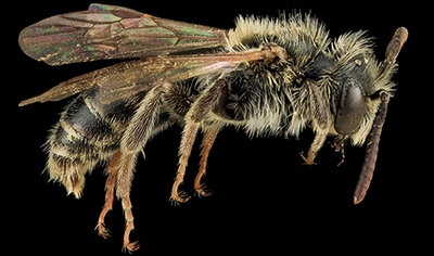 Andrena nigrae is a pollen specialist on willow (Salix spp.).