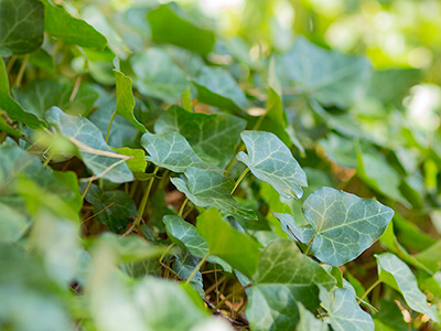 English ivy is an invasive plant that kills trees.