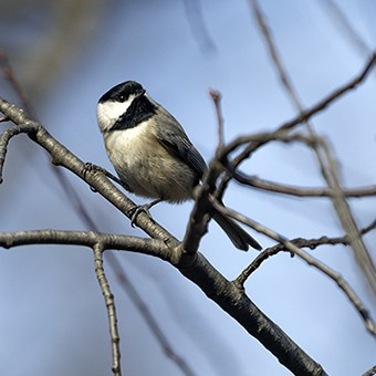 Chickadees and the majority of other birds feed their babies primarily caterpillars. Planting native plants in your garden will host caterpillars and therefore help make more birds.