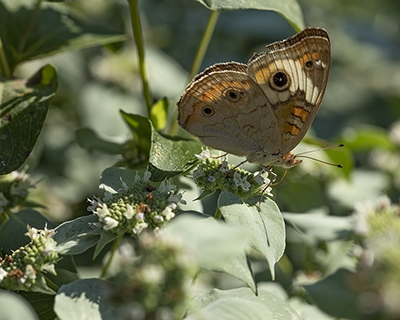 Mountain mint (Pycnanthemum muticum) attracts many pollinators and other flower visitors. This is a common buckeye butterfly.