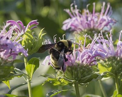 An unusual bumble bee visits wild bergamot (Monarda fistuloa).