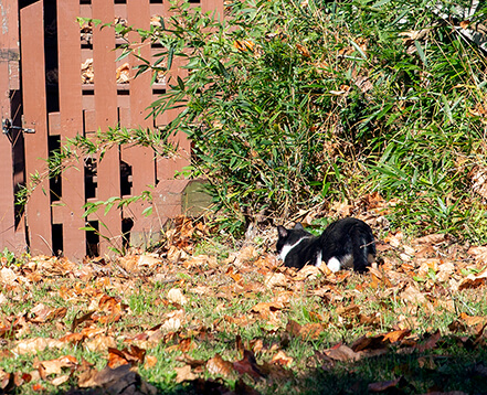 Outdoor cat in residential yard. Cats are an invasive species.