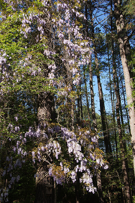 Chinese wisteria overtakes woodlands and kills native plants.