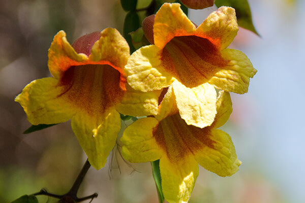 Crossvine (Bignonia capreolata) is a great vine for hummingbirds.