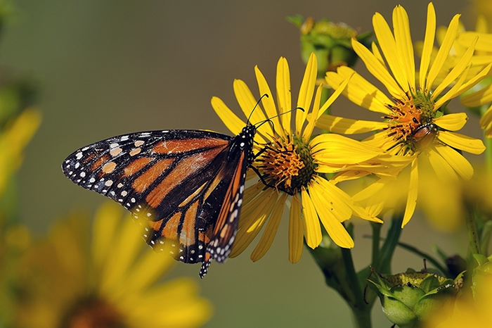 Cup plant (Silphium perfoliatum) attracts many flower visitors and pollinators like this monarch butterfly (Danaus plexippus).
