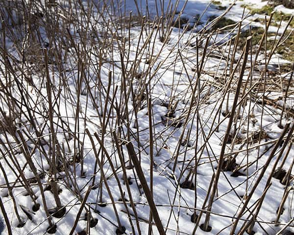 Cutting hollow or pithy stem late in the year can provide nesting sites for native bees and other valuable insects.