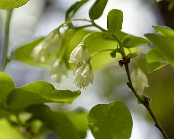 The pollen of deerberry (Vaccinium stamineum) supports specialist bees.