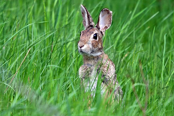 Eastern cottontail rabbits can eat a lot of garden plants.