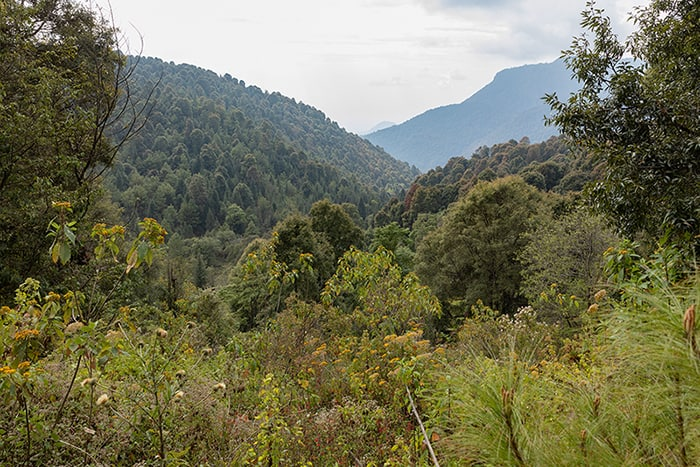 The dense forest in the State of Michoacán that supports the monarch butterfly migration.