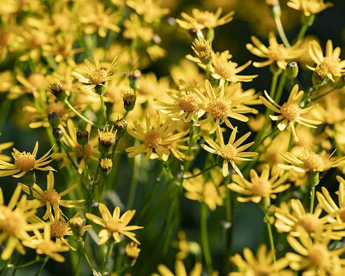 The pollen of golden ragwort (Packera aurea) supports specialist bees.