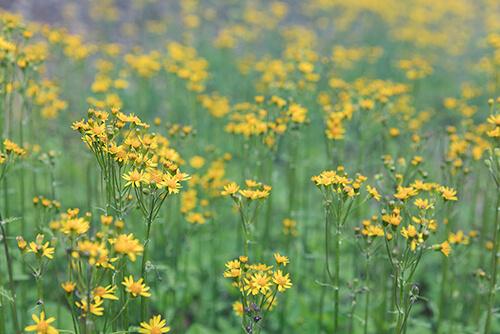 golden ragwort (Packera aurea) grows in the wild