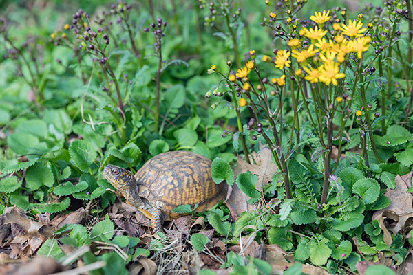 native plant ground cover golden ragwort (Packera aurea) grows in a garden with box turtle visiting.