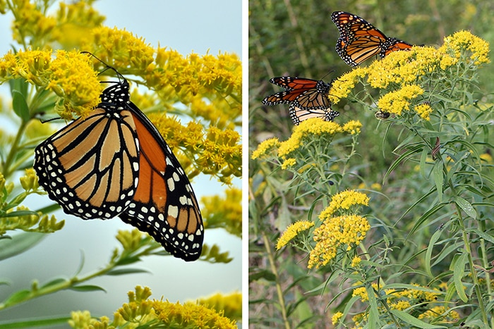Goldenrods (Solidago spp. and Euthamia spp.) attract many pollinators like these monarch butterflies. Goldenrods are the host plant for many moth and butterfly caterpillars and also support specialist bees.