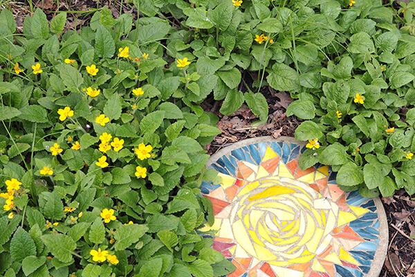 Native ground cover green and gold (Chrysogonum virginianum) grows in a garden.