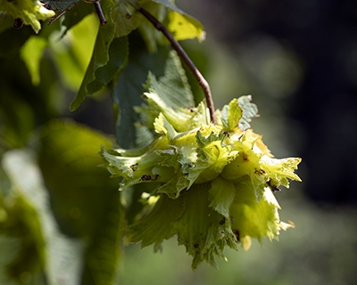 American hazelnut (Corylus americana) supports a lot of wildlife from mammals to insects.