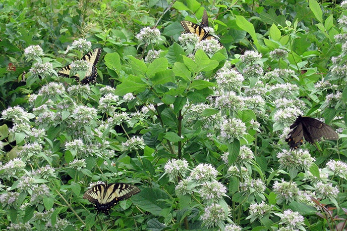 Hoary mountain mint (Pycnanthemum incanum) attracts many flower visitors and pollinators like these eastern tiger swallowtails.