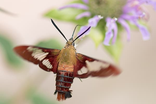 Native plant gardens support many interesting animals. A hummingbird clearwing moth, Hemaris thysbe, feeds on the nectar of the pollinator magnet wild bergamot (Monarda fistulosa).