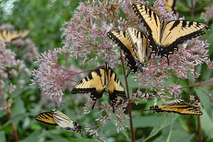 Joe pye weed (Eutrochium spp.) is a great attractor of large-winged butterflies like these eastern tiger swallowtail butterflies.