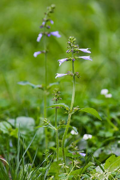 Lyreleaf sage (Salvia lyrata) has tubular flowers that hummingbirds like.