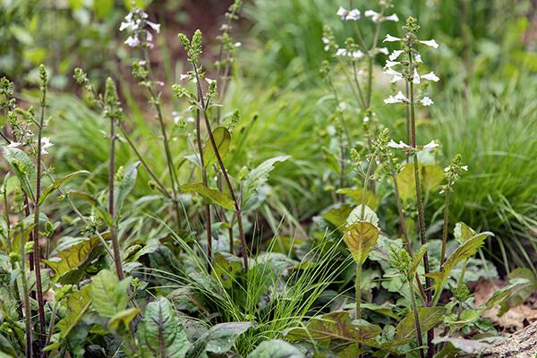 native plant ground cover lyreleaf sage (Salvia lyrata) grows in a garden.