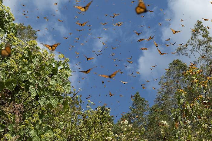 Monarch butterflies in flight in Mexico.