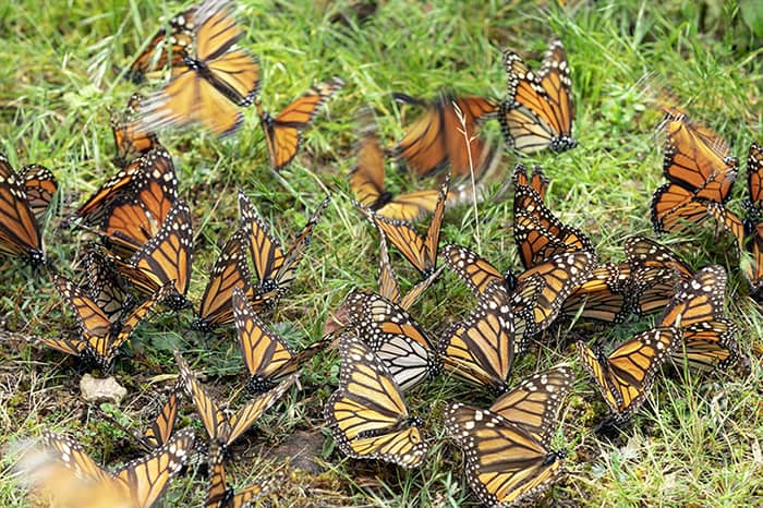 Monarch butterflies puddling in Cerro Pelón.