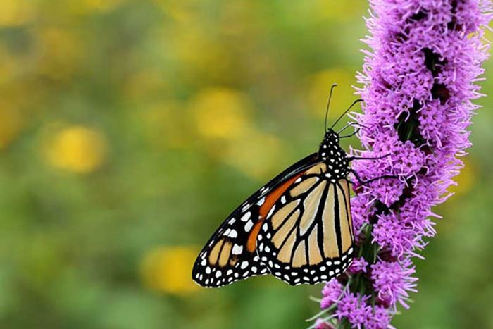 Dense blazing star (Liatris spicata) attracts many flower visitors and pollinators like this monarch butterfly.