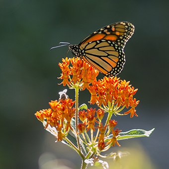 By planting native plants like butterfly weed (Asclepias tuberosa), you can attract beautiful insects like the monarch butterfly.