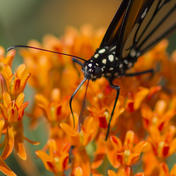 A monarch butterfly nectars on orange butterflyweed flowers (Asclepias tubersosa). Milkweeds are the only plants monarch caterpillars can eat.