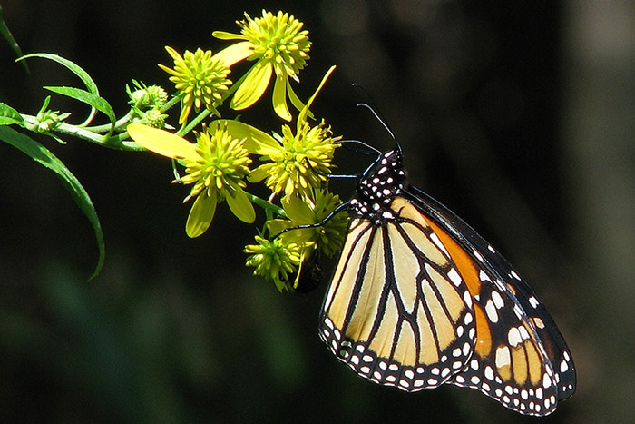 Wingstem (Verbesina alternifolia) is visited by large butterflies like this monarch butterfly.