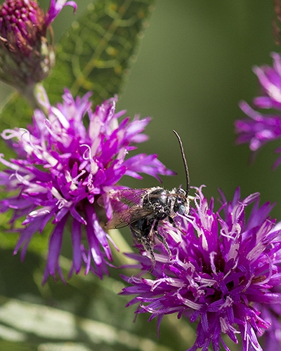 Our native bees and other pollinators need gardens planted with locally native plants to support them.