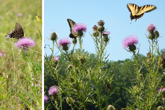 Native thistles are important for pollinators and specialist bees.