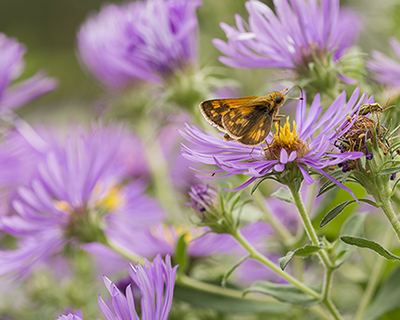 New England asters support many pollinators including specialist bees.