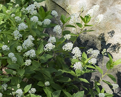 New Jersey tea (Ceanothus americanus) is a great shrub for the garden.