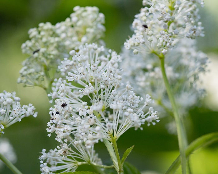 The pollen of New Jersey tea (Ceanothus americanus) supports specialist bees.