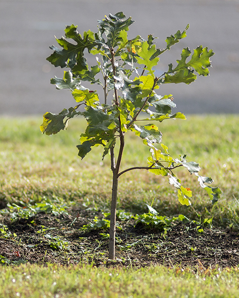 It's better to plant a small tree or sapling than a larger tree to get the best results. This is a white oak sapling.