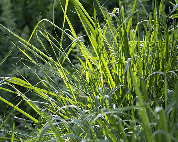 Swithcgrass (Panucum virgatum) is a bunch grass that bumble bees can use for shelter and nesting.