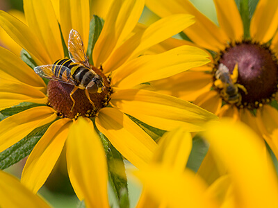 Mosquito control pesticides kill pollinators like bees and hover flies.