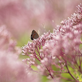 This native plant cultivar of Joe Pye Weed may not be as productive as the straight species.