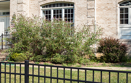 Invasive plants like butterfly bush and barberry in a residential landscape.