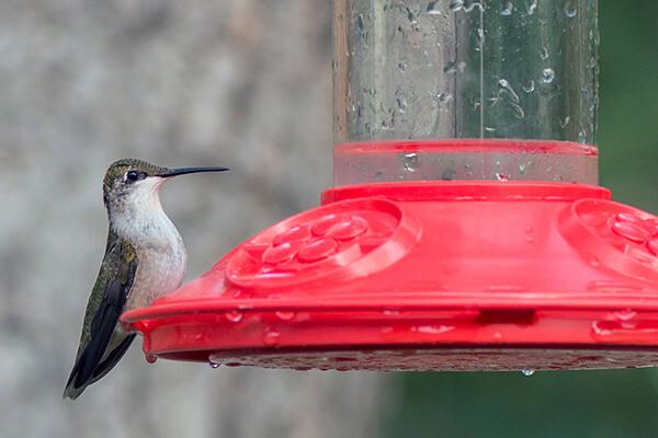 A ruby-throated hummingbird sit on a feeder.