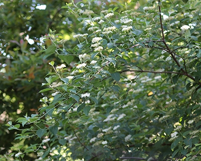 Silky dogwood (Cornus amomum) makes a great landscape shrub.