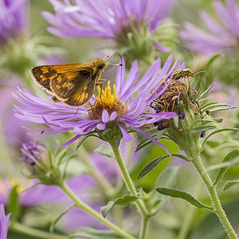 New England aster (Symphyotrichum novae-angliae) is a powerful native plant. It hosts many different species of caterpillars and also specialist bees as well as other flower visitors.