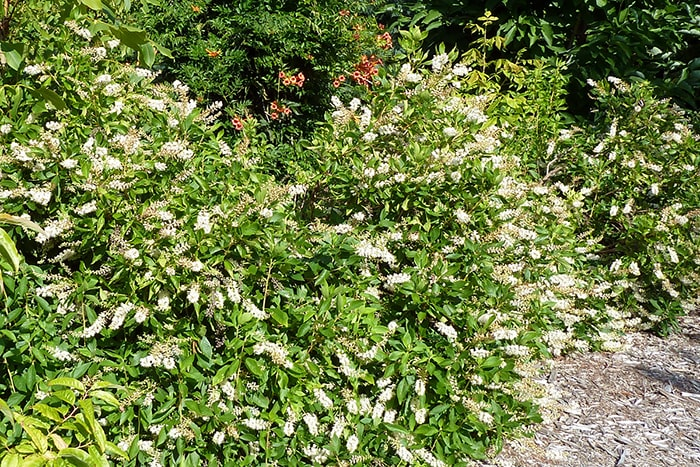 Sweet pepperbush (Clethra alnifolia) is a good landscaping shrub. It attracts many flower visitors and pollinators.