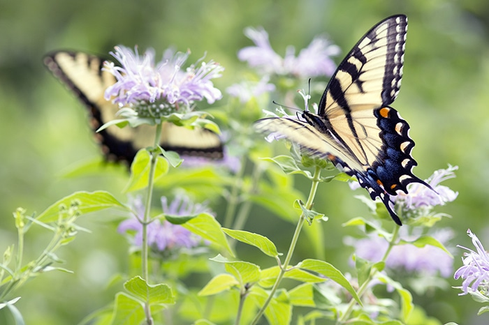 Wild bergamot (Monarda fistulosa) attracts many flower visitors and pollinators like these eastern tiger swallowtails.