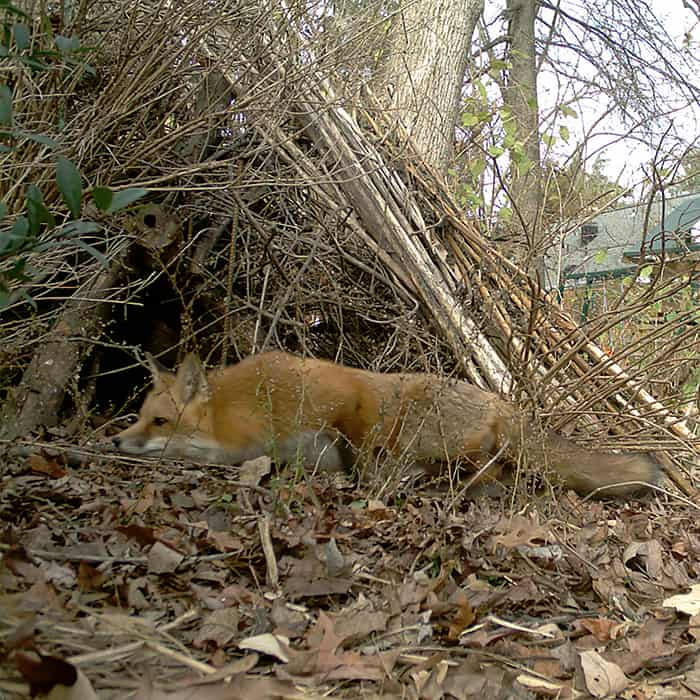 A fox hunts near a homemade brush pile. Brush piles are beneficial to wildlife seeking shelter.