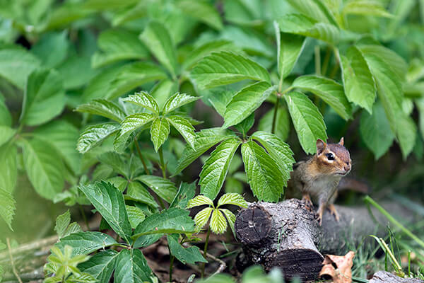 native plant ground cover Virginia creeper grows in a garden with visiting chipmunk.