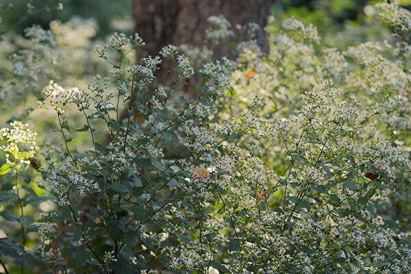 native ground cover white wood aster )Eurybia divaricata) grows in a garden setting.