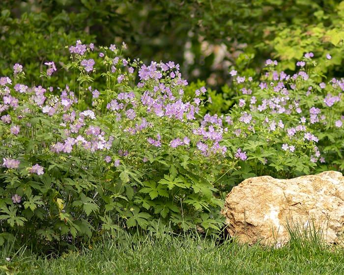 The pollen of wild geranium (Geranium maculatum) supports specialist bees.